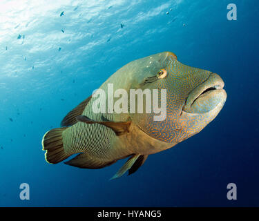 PALAU, PACIFIC OCEAN: A Napoleon Wrasse. WORLD Ocean Day 2015 is being celebrated through this colourful collection - Stock Photo
