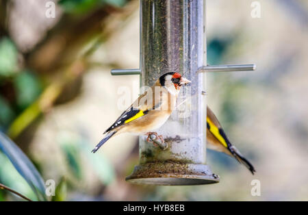 Colourful Carduelis carduelis, European goldfinch, perching, feeding at a niger seed bird feeder in an English garden - Stock Photo