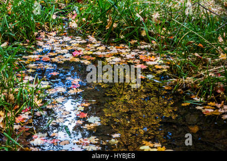 Green grass and fallen leaves usher in the new season. Bear Wallow, Santa Catalina mountains. - Stock Photo