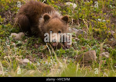 Grizzly bear (Ursus arctos) Spring Cub playing on the tundra, Thorofare Pass, Denali NP, AK, USA - Stock Photo