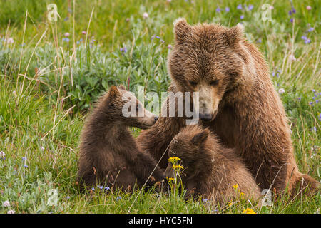 Grizzly bear (Ursus arctos) Sow and two spring cubs interacting on the alpine tundra, Denali NP, AK, USA - Stock Photo