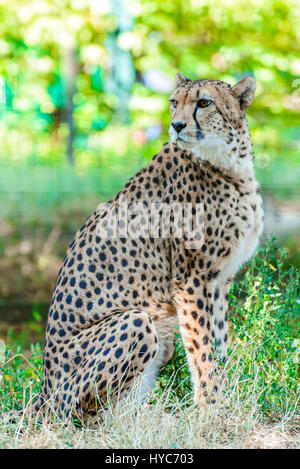 Cheetah (Acinonyx jubatus) at Schoenbrunn Tiergarten, zoo garden in Wien. - Stock Photo