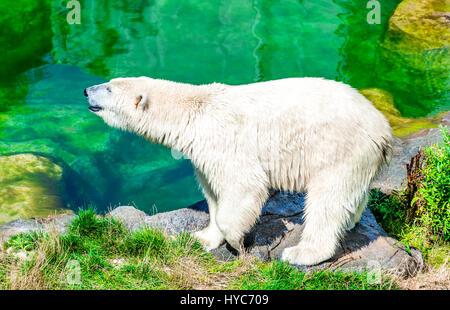 Vienna, Austria. Polar Bear (Ursus maritimus) at Schoenbrunn Tiergarten, zoo garden in Wien. - Stock Photo