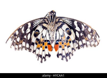 Common Lime butterfly (Papilio demoleus) - Stock Photo