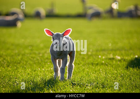 Lambs on a sunny day - Stock Photo