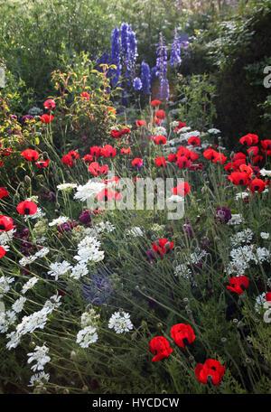 Gravetye Manor,Vowels Lane,West Hoathy,West Sussex RH19 4LJ: Papaver commutatum, Ladybird Poppy; Orlaya grandiflora, - Stock Photo
