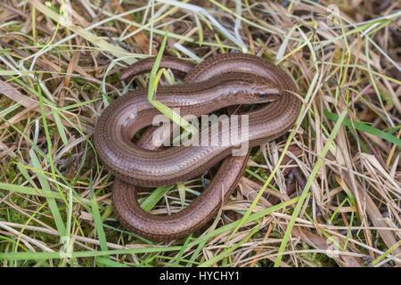 Close-up of slow worm (Anguis fragilis) in Berkshire, UK - Stock Photo