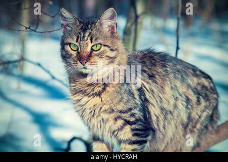 Siberian cat walking in the snow - Stock Photo