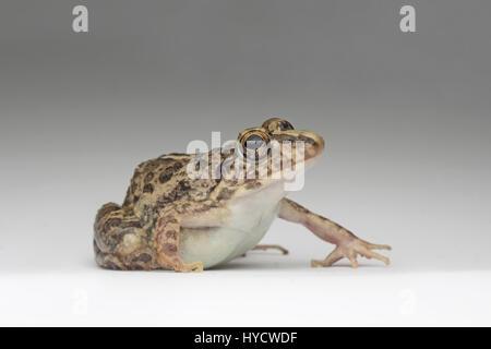 Common Grass Frog - Stock Photo
