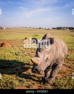 White rhino in South-Africa - Stock Photo