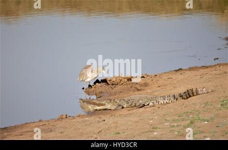 Mugger Crocodile - Stock Photo
