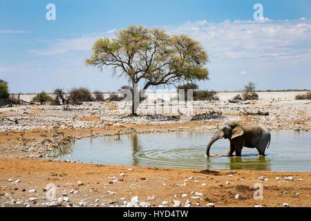 Springbok (Antidorcas marsupialis) & African Elephant  Okaukuejo Waterhole, Etosha NP, Namibia, by Monika Hrdinova/Dembinsky - Stock Photo