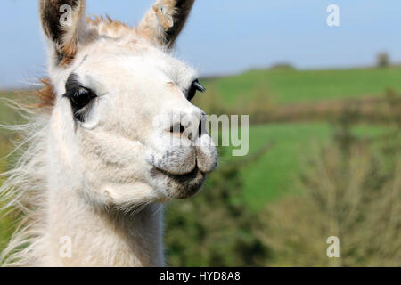 Lama, llama - Stock Photo