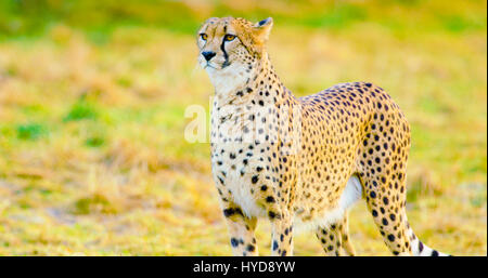 Close-up of adult cheetah looking after enemies - Stock Photo
