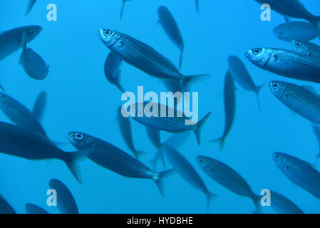 Group of fishes diving under water - Stock Photo