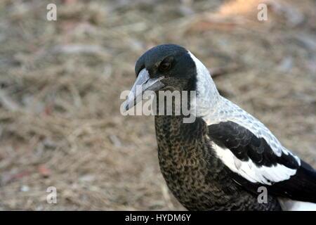 Australian Magpie portrait close up - Stock Photo
