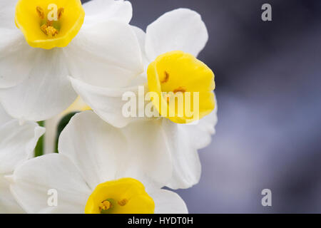 Daffodils growing inside a greenhouse - Stock Photo
