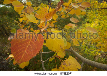 Close up of an orange leaf of a bigtooth aspen, Populus grandidentata, in autumn hues. - Stock Photo