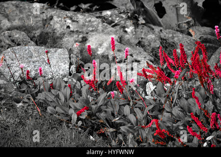 Red Flowers On Black And White Backgroundcolor Separationcolor Splashnature Abstract