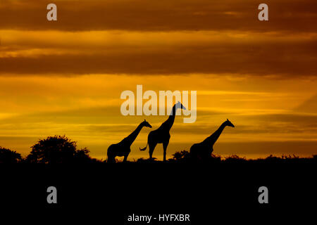Angolan giraffe Giraffa giraffa angolensis known as Namibian giraffe at sunrise northern Namibia - Stock Photo