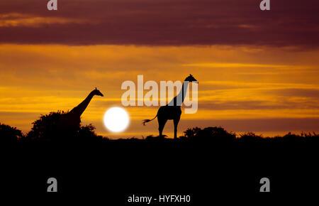 Angolan giraffe Giraffa giraffa angolensis known as Namibian giraffe at sunrise northern Namibia - Stock Photo