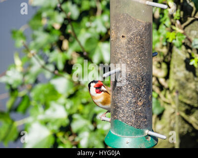 Male European Goldfinch (Carduelis carduelis) finch in spring on a garden bird feeder in a hedgerow. Wales, UK Britain - Stock Photo