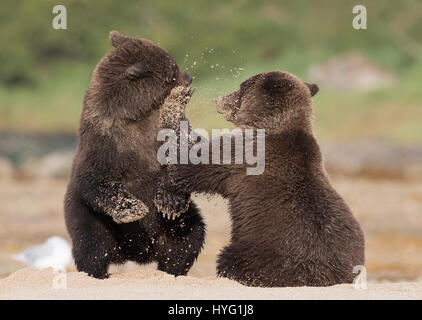 JAW-DROPPING pictures of a bear cub delivering a left uppercut punch directly into the face of his sibling has been - Stock Photo