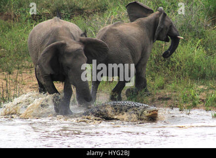 """THE MOMENT a feared sixteen-foot long crocodile called """"Jaws"""" tried to take down an adult eight-foot high elephant - Stock Photo"""