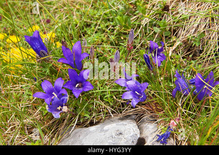 Bell flowers in the mountains - Stock Photo