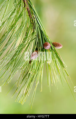 Pine Branch with green needles and small pine cones close up. - Stock Photo