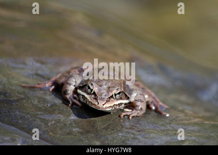 Wood Frog close up front view on rock near pond in central New York, USA. - Stock Photo