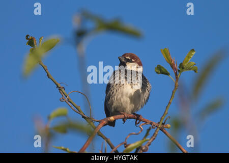 Spanish Sparrow, (Passer hispaniolensis), male in a tree against a blue sky, Droushia, Cyprus. - Stock Photo