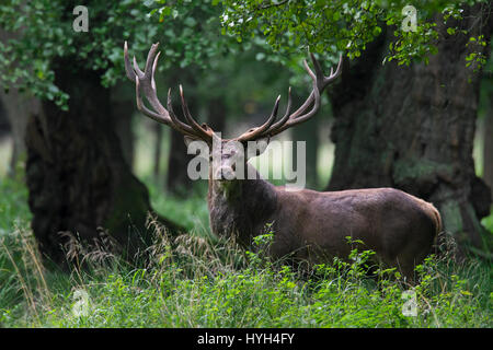 Red deer (Cervus elaphus) stag during the rutting season in beech forest - Stock Photo