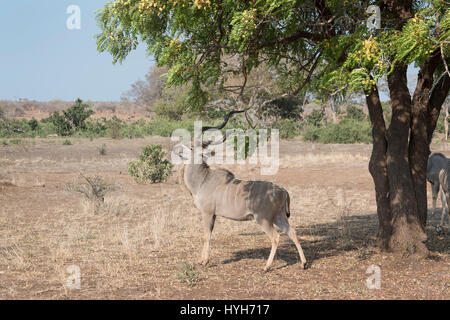 Greater kudu (Tragelaphus strepsiceros), male rubbing food out of acaciatree with horns, Kruger national park, South - Stock Photo