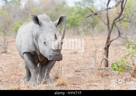 White rhinoceros (Ceratotherium simun) standing on savannah, looking at camera, Kruger National Park, South Africa - Stock Photo