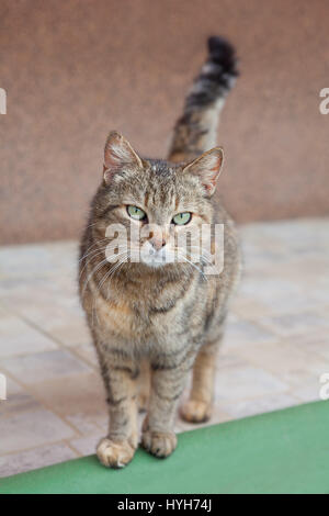 Gray cat with beautiful green eyes - Stock Photo