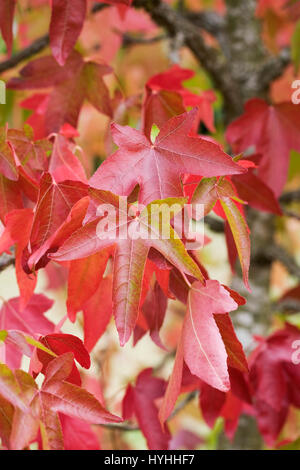 Sweet Gum Tree Leaves Turning Yellow In Autumn Liquidambar