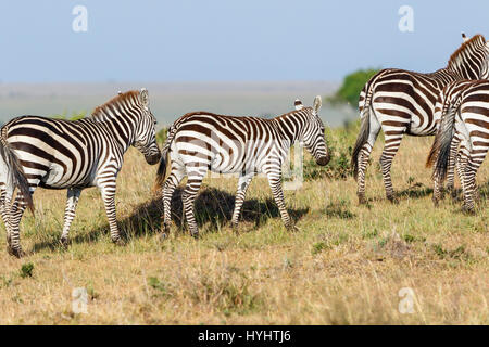 Zebras with a foal on the savannah in the Masai Mara in Kenya - Stock Photo