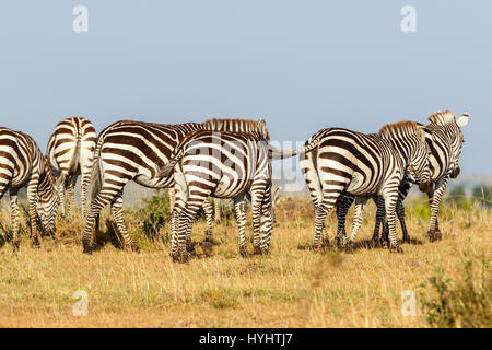 Zebras grazing on the savannah in Africa - Stock Photo