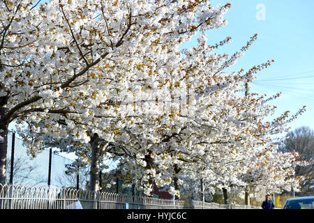 London, UK. 5th Apr, 2017. Beautiful Spring blossom around Queens Park in Brighton on a warm sunny morning with - Stock Photo
