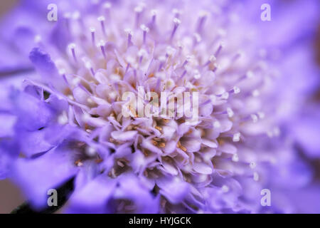 Abstract macro of Scabious Butterfly Blue Flower. - Stock Photo