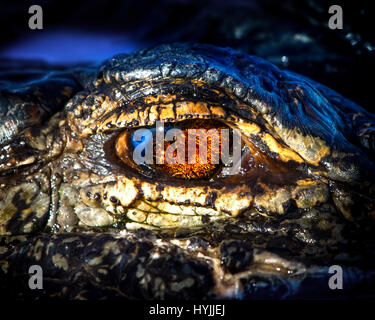 A closeup of an American Alligator in the Florida Everglades with reflections of the sun and sky in his eye. - Stock Photo