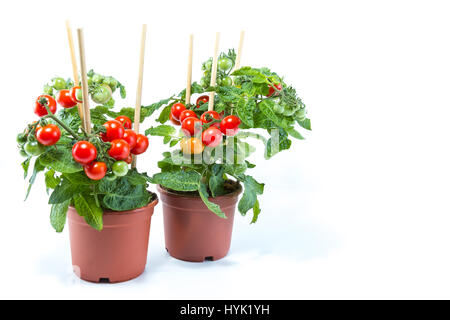Two cherry tomatoes trees with mini fresh tomatoes hanging on it, planted in brown pots with white background