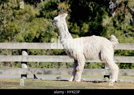 Suri Alpaca - Orana Wildlife Park, Christchurch, New Zealand. - Stock Photo