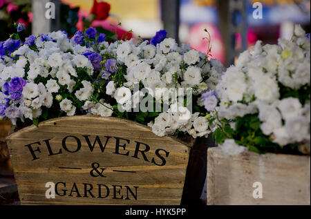 Beautiful white and violet flowers in wooden pot with printed text flowers & garden , street market stall in Stoke - Stock Photo