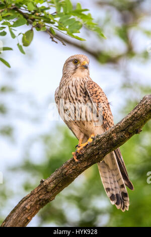 Male Common Kestrel (Falco tinnunculus) perching on a branch - Stock Photo