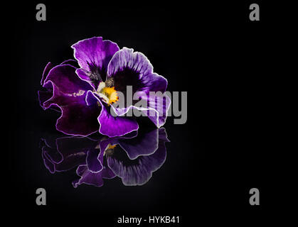 Pansy flowers isolated on black background - Stock Photo