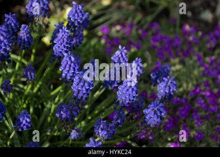 Muscari armeniacum Grape hyacinth with Aubrieta argenteovariegata - Stock Photo