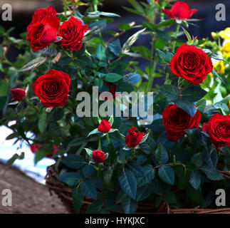 Red roses growing in basket on street market,Stoke on Trent,Staffordshire,United Kingdom. - Stock Photo
