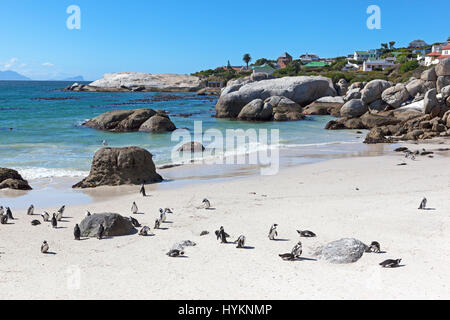African Penguin, Boulders Beach, Simon's Town, South Africa - Stock Photo